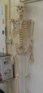Lot 345 - Anatomical resin skeleton - Sold for £70