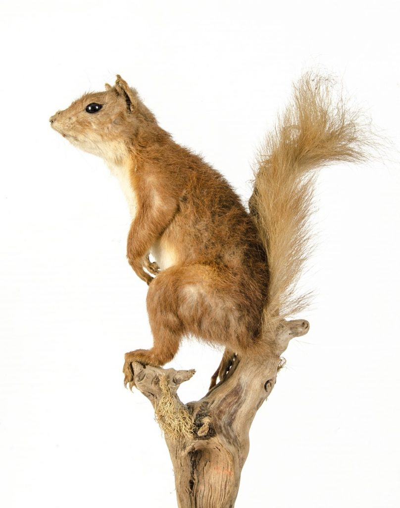 Stuffed Red Squirrel